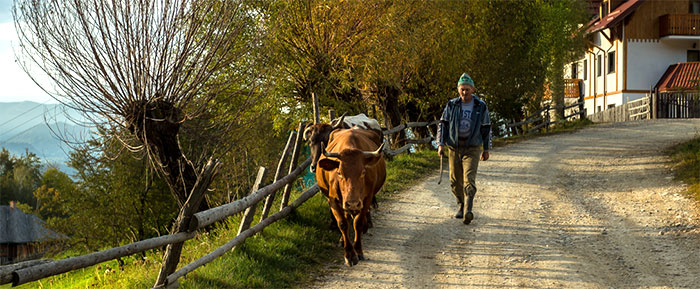 Romanian man walking down road with cow