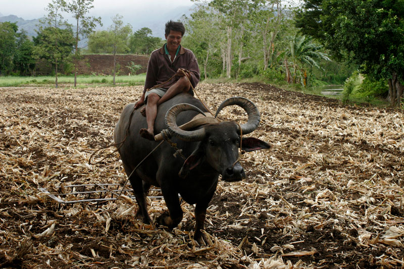 Filipino man riding animal, plowing field